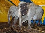 Circusolifanten in Nederland
