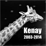 Giraffe Kenay R.I.P.